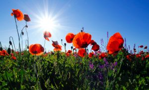 poppies in field with sun in the background